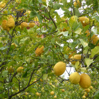 Limone di Sorrento IGP-img-12